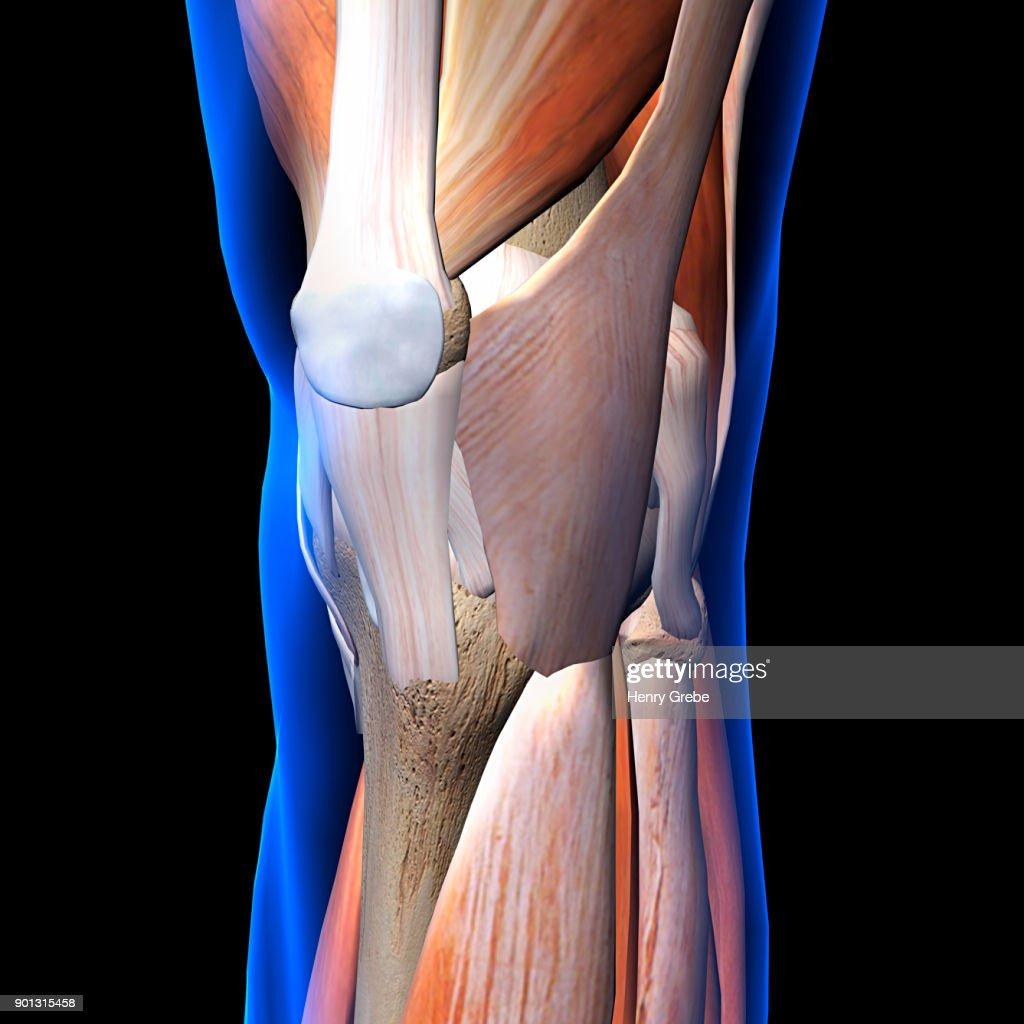 Knee Diagram Frontal Find Wiring Diagram