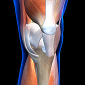 Ligaments and muscles of the knee in close up view
