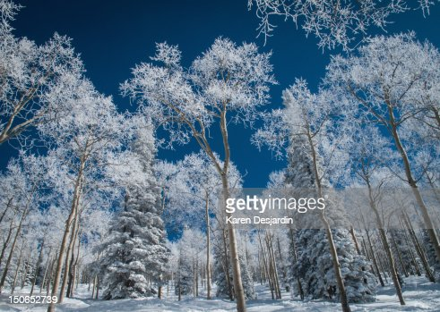Frost and snow covered trees, Colorado : Stock Photo