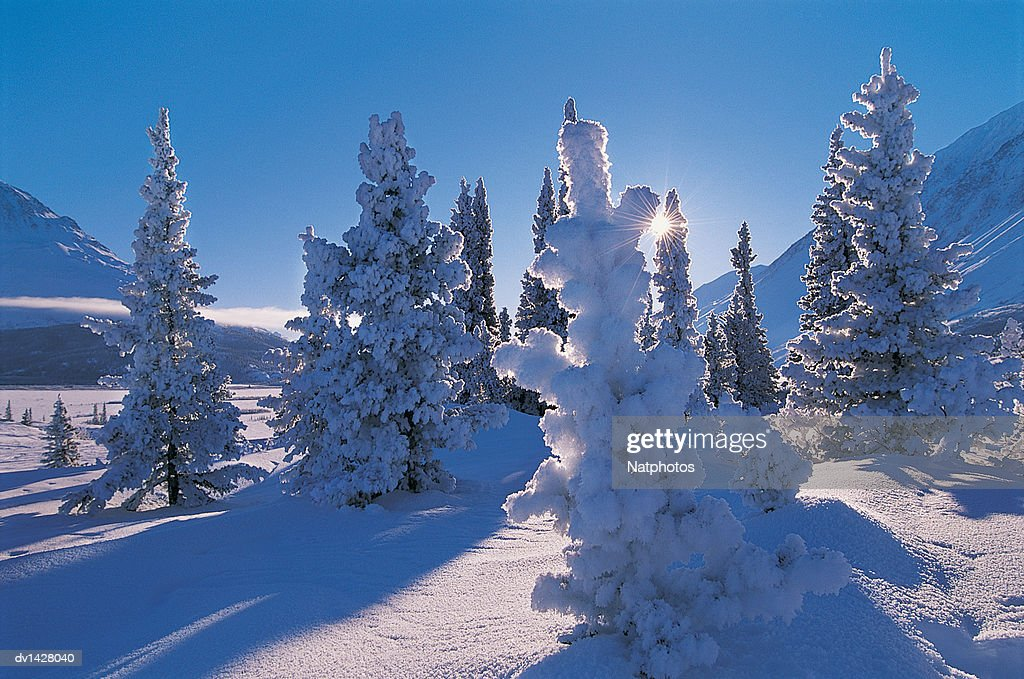 Frost Covered Douglas Firs, Kluane National Park, Yukon, Canada : Stock Photo