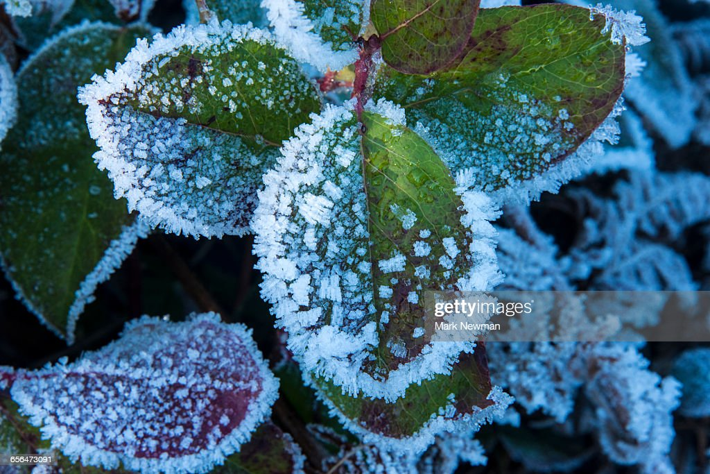 Frost on leaves : Stock Photo