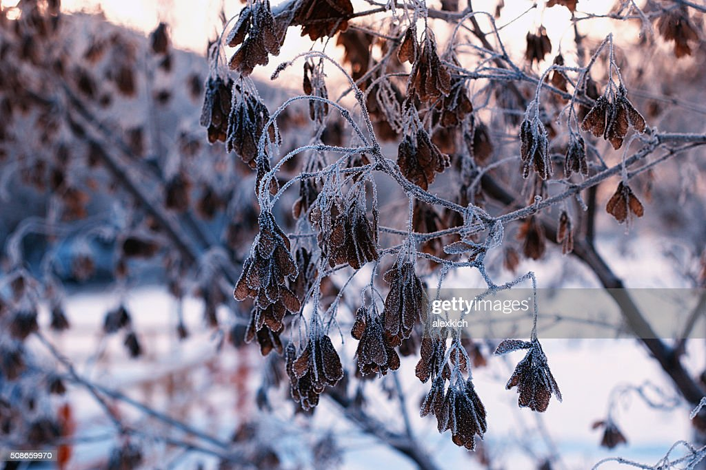 frost on plant in Winter : Stock Photo