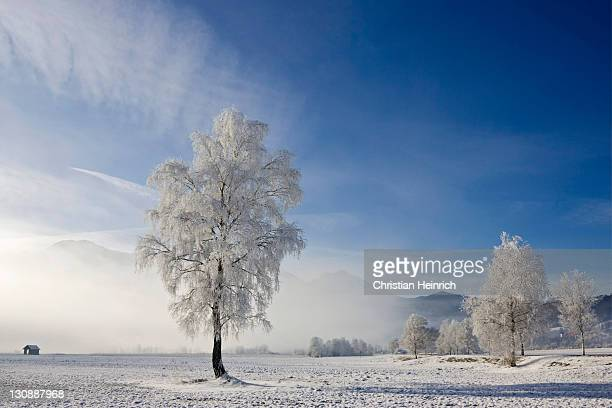 Frost-covered beech tree, Bavarian pre-Alps, Upper Bavaria, Germany, Europe