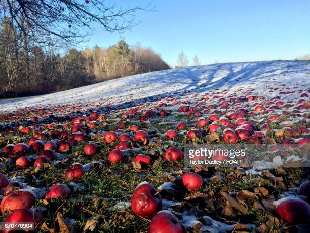 Frosted apples on landscape in winter