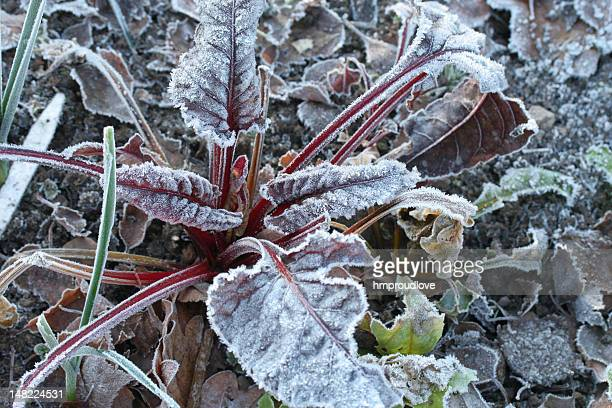 Frosted ruby chard