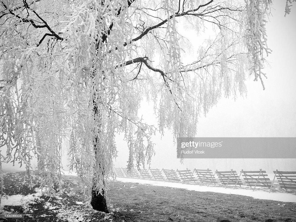 Frosted tree : Stock Photo