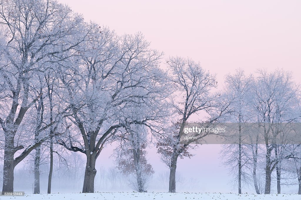 Frosted Trees in Fog : Stock Photo