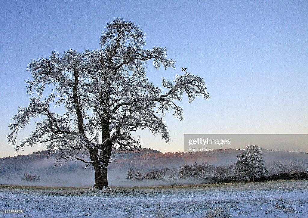 Frosty ash tree at sunset : Stock Photo