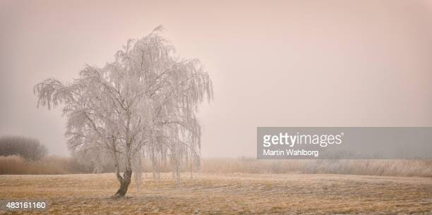 Frosty Birch tree and fog on the moor