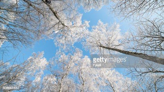 frosty birch tree crown : Stock Photo