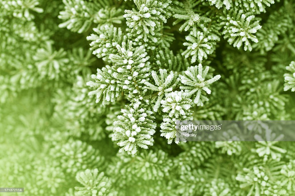 Frosty pine leaf : Stock Photo