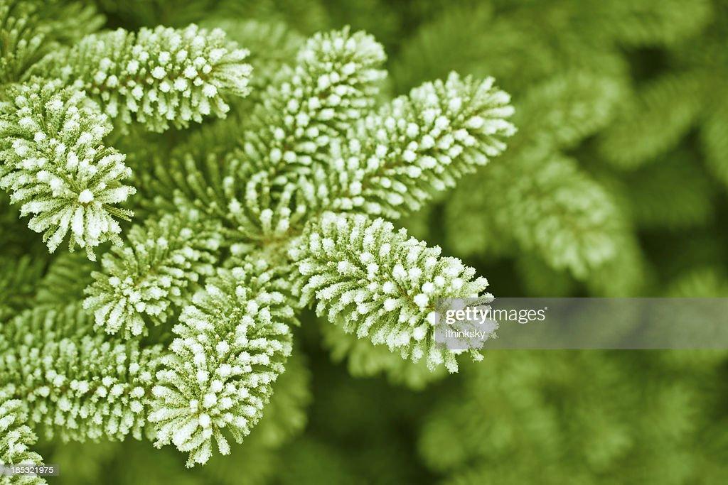 Frosty pine leaf : Stock Photo