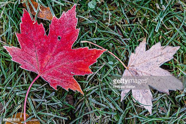 Frosty red maple leaf in autumn