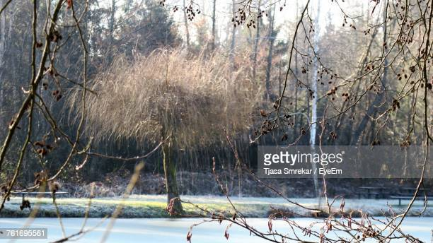 Frozen Bare Trees In Forest During Winter