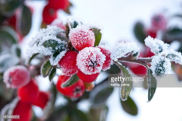 berberis congelado