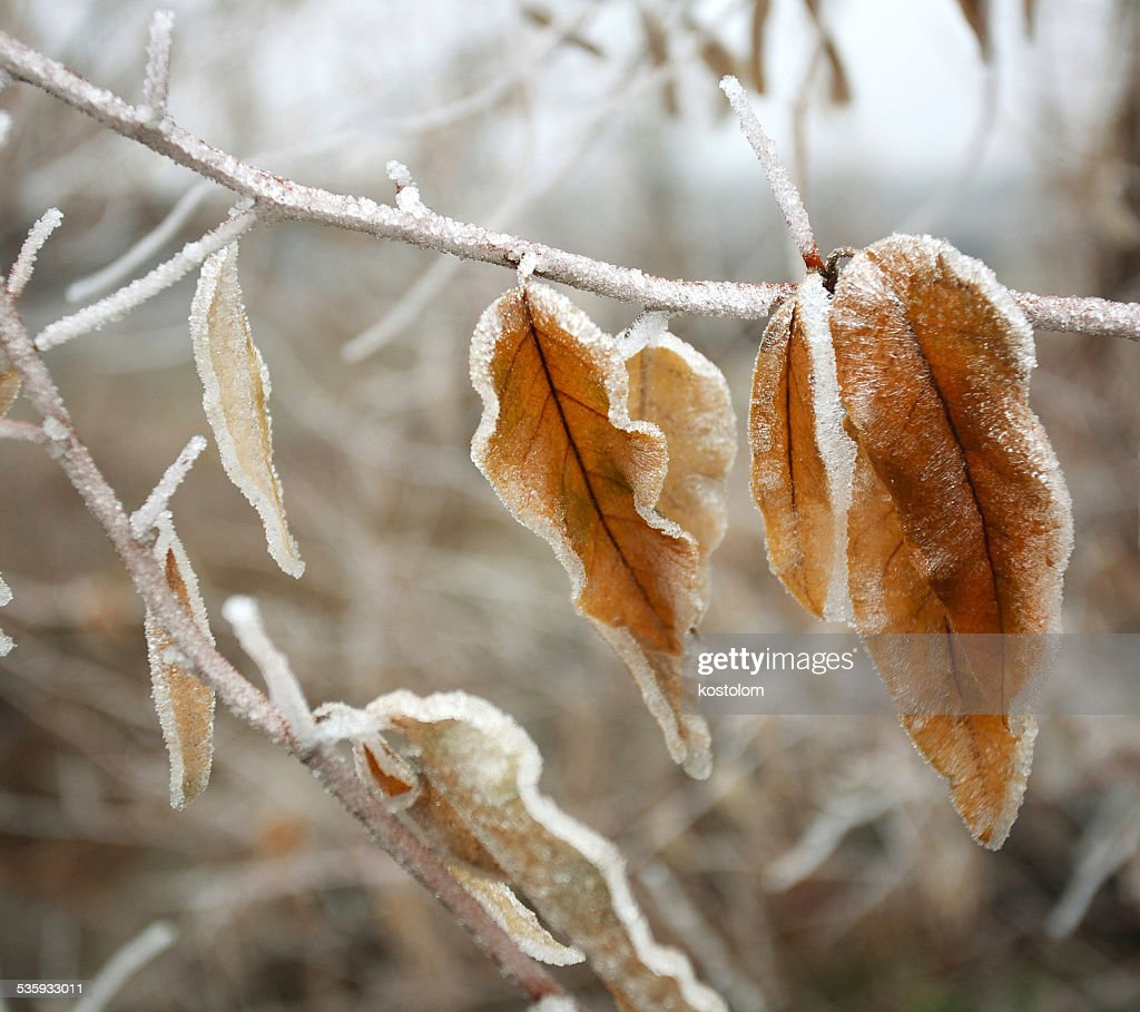 Frozen brown autumn leaves covered with frost : Stock Photo
