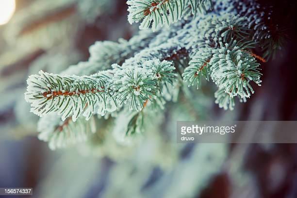branches de sapin glacé