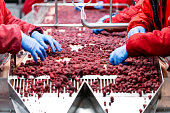 Unrecognizable workers hands in protective blue gloves make selection of frozen raspberries. Factory for freezing and packing of fruits and vegetables. Motion blur, low light and visible noise.