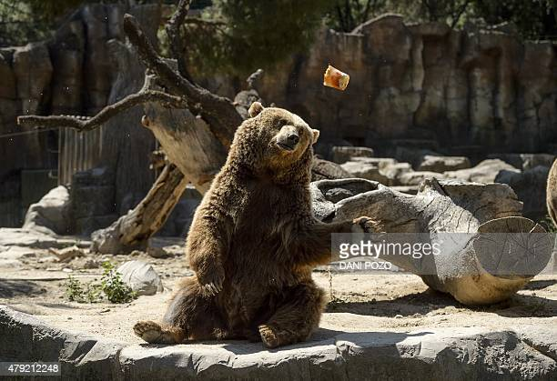 A frozen fruit is thrown by an employee to a grizzly bear on a hot summer day at Madrid's zoo on July 2 2015 Spain is heading for a new heatwave...