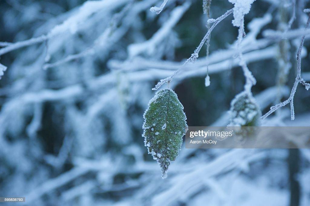Frozen leaf : Stock Photo