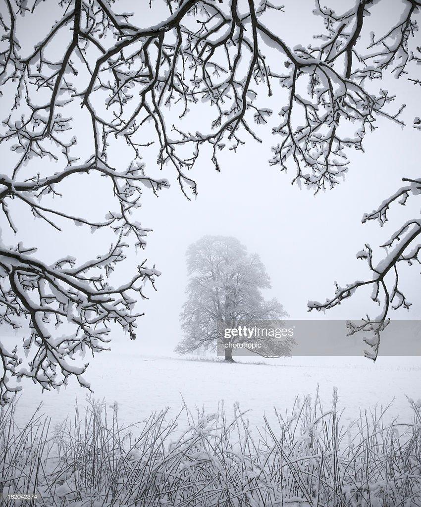 Frozen Oak Tree : Stock Photo