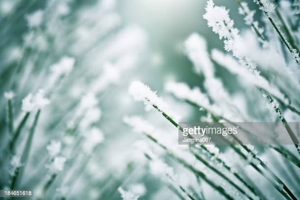 Frozen branche de pin