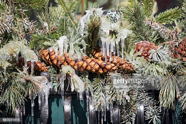 Frozen Pine Cones On Tree In Forest