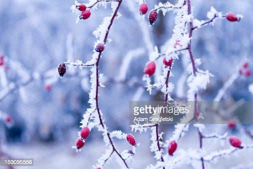 frozen plant : Stock Photo