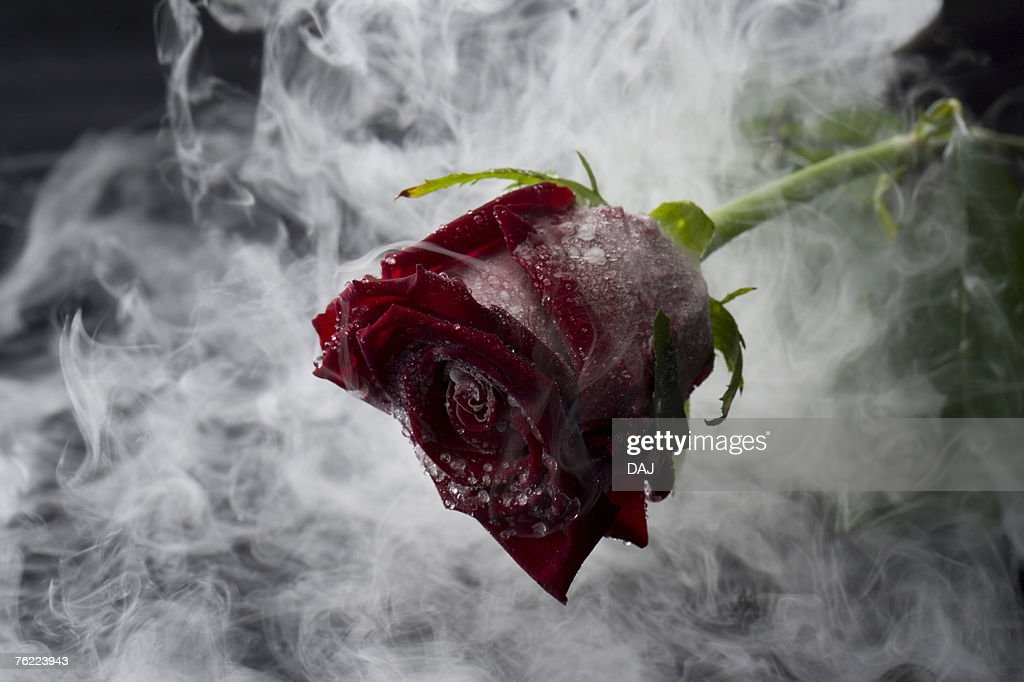 Frozen red rose, close up : Stock Photo