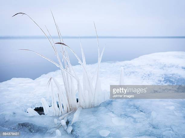 Frozen reeds at water