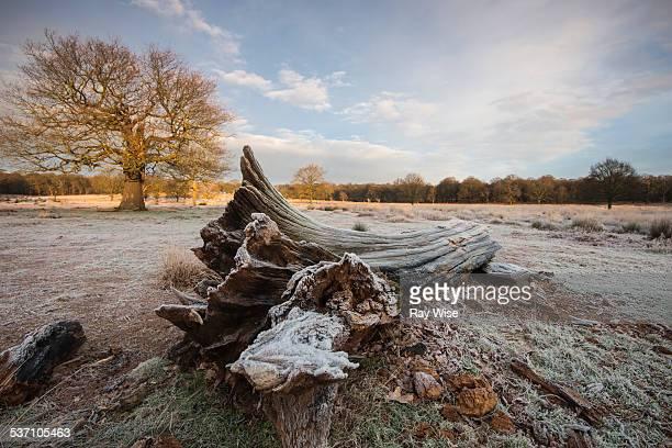 Frozen tree trunk at sunrise