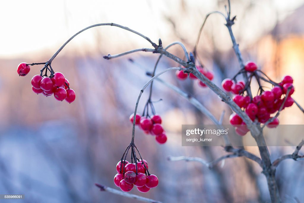 Frozen viburnum at winter sunny day : Stock Photo
