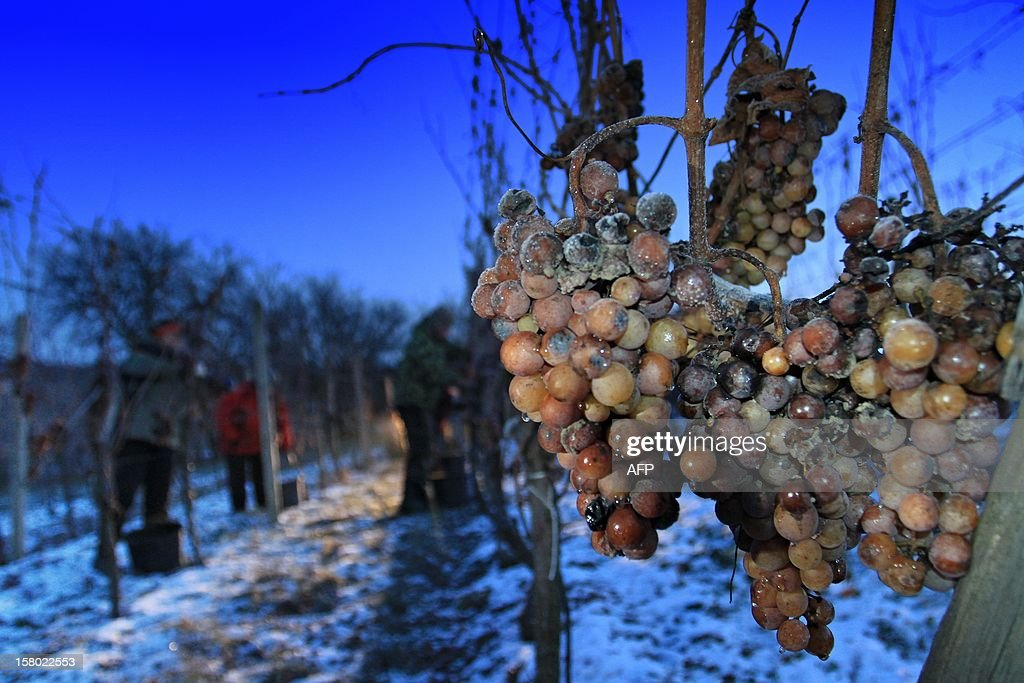 Frozen wine grapes are pictured as temperatures show -12 degrees Celsius at Mikulov, near Brno, Czech on December 9, 2012. The Ice wine which is produced out of the grapes, contains over 30 percent sugar and is an exceptional and expensive specialty.
