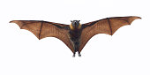 A fruit bat or flying fox. It is flying directly towards camera. Look carefully and you can see a tiny baby flying fox clinging to its chest. Photo taken in Melbourne, Australia.