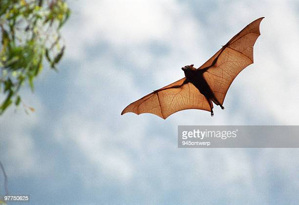 fruit bat in flight (high resolution file)