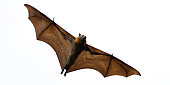 A fruit bat or grey headed flying fox shot against a cloudy sky. See the veins in its wings.