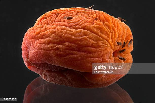 Fruit flies on a rotting wrinkled peach