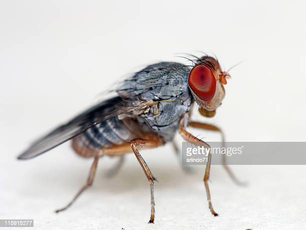 Fruit fly - 01