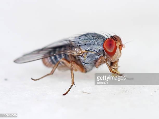 Fruit fly 04