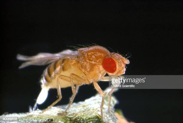 fruit fly drosophila melanogaster laying eggs