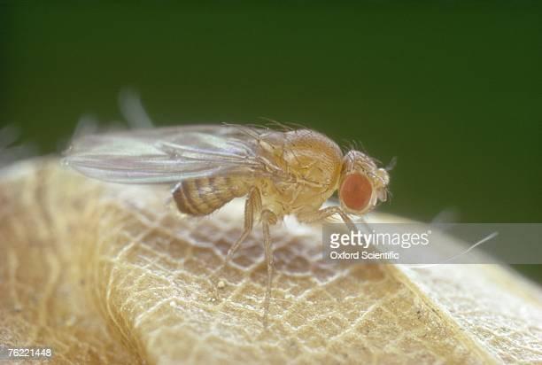 Fruit fly, Drosophila melanogaster