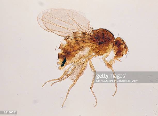 Fruit fly female seen under a microscope Drosophilidae