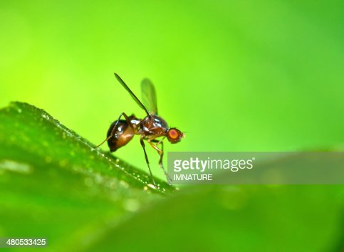 Fruit fly on leaf : Stock Photo