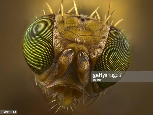 Fruit Fly Porträt