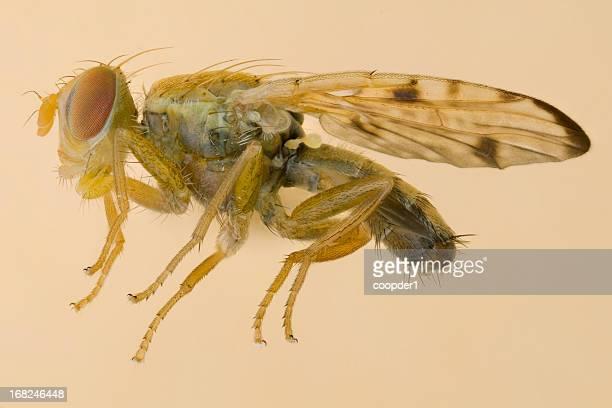 Fruit fly-Xyphosia miliaria