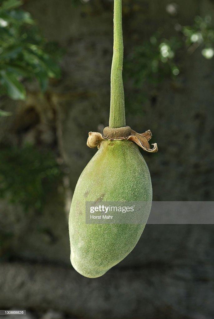 Fruit of a Baobab tree (Adansonia digitata) : Stock Photo