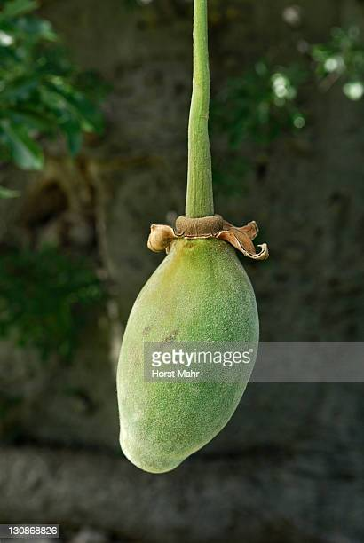 Fruit of a Baobab tree (Adansonia digitata)