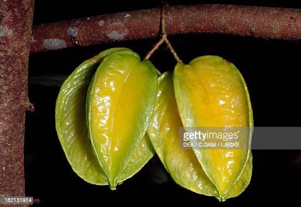 Fruit of the Starfruit Oxalidaceae French Polynesia