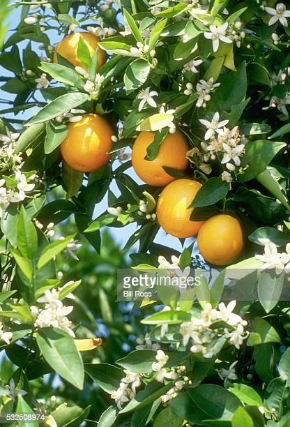 Fruit on Blossoming Orange Tree