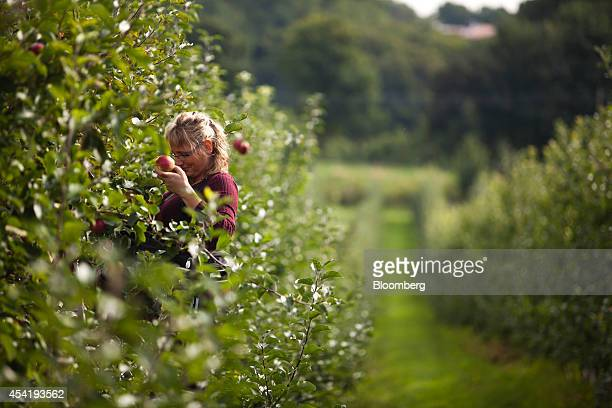 A fruit picker collects apples from a tree during the summer harvest at the Sady Trzebnica z oo apple farm in Trzebnica Poland on Monday Aug 25 2014...